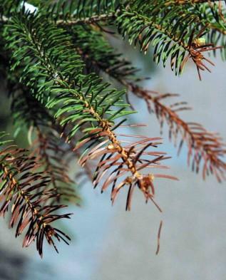 Посадка и уход за елкой осенью