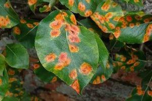 Ржавчина на комнатных цветах. Ржавчина растений