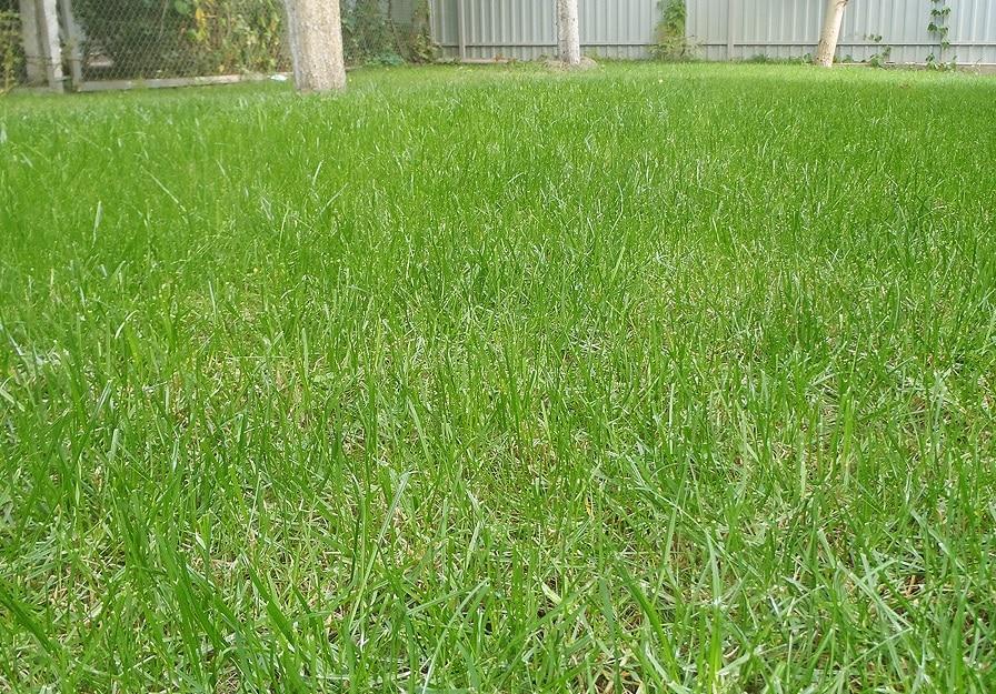 Густий травостій смарагдово-зеленого кольору при правильному догляді за  газоном утворюється не раніше 0e34e2467770b