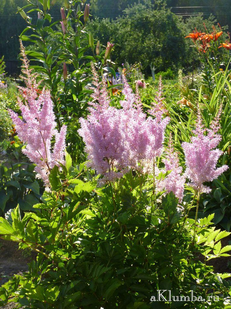 İlkbahardan sonbahara kadar zambak yetiştiriciliği ve üst pansuman 18